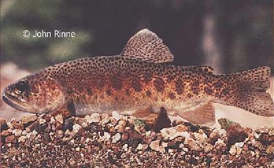Informaciones sobre diferentes especies de Truchas por www.fishbase.org Ogilae_1